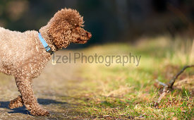 Brown Miniature Poodle investigating his surroundings at sunset in the countryside