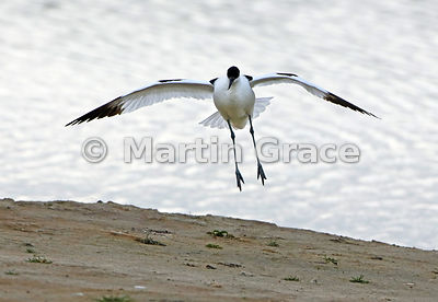 Flying Pied Avocet (Recurvirostra avosetta) about to land, Leighton Moss, Lancashire, England, May 6