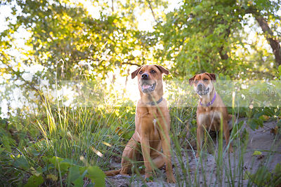 two calm mixed breed dogs sitting in sand with vegetation