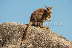 rock_wallaby_mareeba_rock_top-11