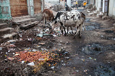 Cows and garbage on the back streets of Jodhpur, Rajasthan, India