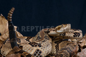 Crotalus horridus, Timber rattlesnake, USA
