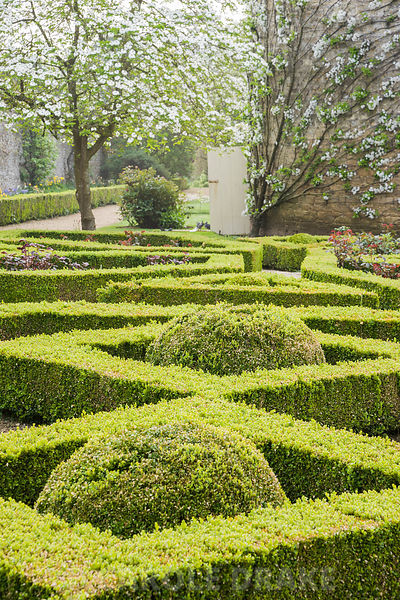 Box parterre in the Pigeon House Garden with Cornus nuttallii flowering beyond and trained fruit trees on the curving pigeon ...