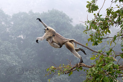 A langur monkey with baby jumps across a rock near the Ajaypal Shiva Temple, Pushkar, Rajasthan, India