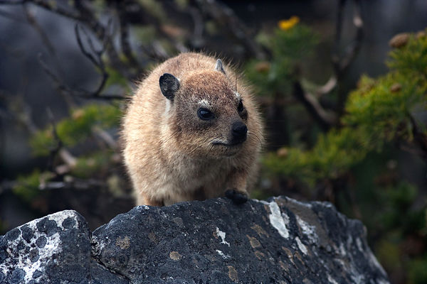 Rock dassie (Procavia capensis), Table Mtn. National Park, Cape Town, South Africa