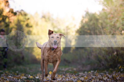 tan shorthaired mixed breed dog running to camera in autumn