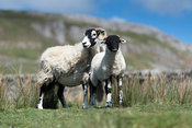 Swaledale ewe with lamb, in upland pasture in Yorkshire Dales, UK.