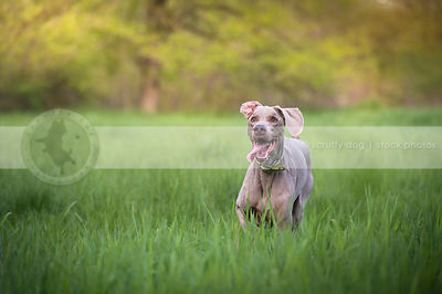 intense grey gundog with flipped ear running in summer meadow