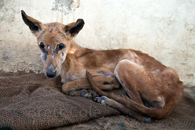 Emaciated dog with mange receiving treatment at the Tree of Life for Animals rescue center in Pushkar, India