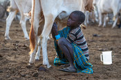 Karamojong boy milking a cow in the village, northern Uganda