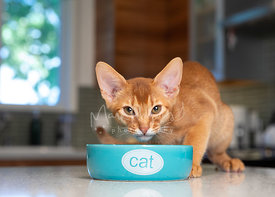 Abyssinian Kitten Crouched Behind Cat Bowl