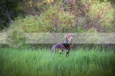 brown dog with flipped ears from behind staring back in grasses