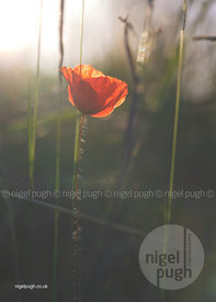 single red poppy: