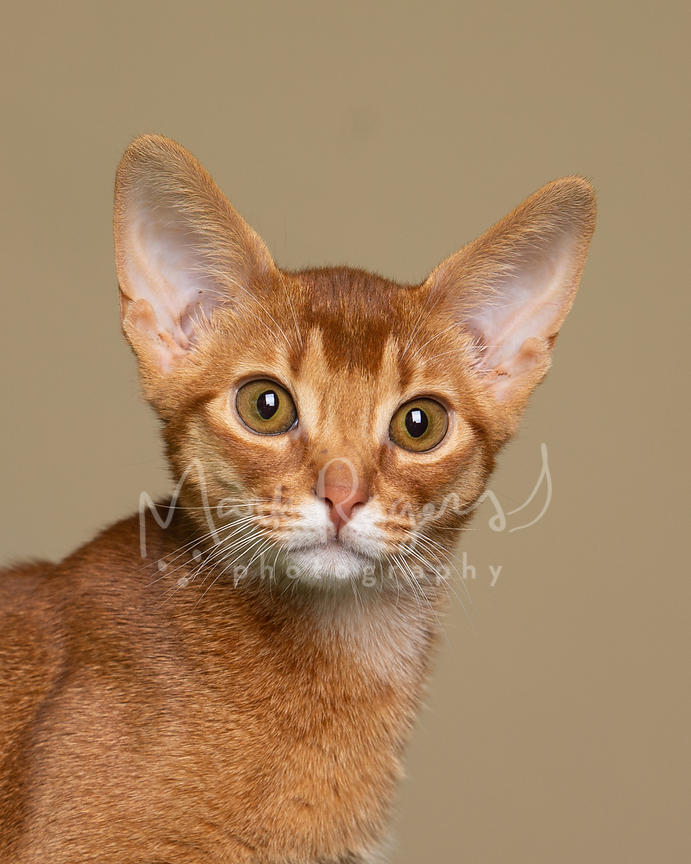Studio Close-Up of Abyssinian Kitten