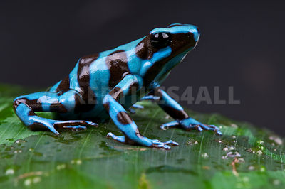 "blue and black arrow frog / Dendrobates auratus ""Santa Maria"""