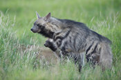 striped hyena with pups (Hyaena hyaena), Ol Pejeta Wildlife Conservancy, Laikipia, Kenya
