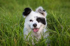 Close-up Portrait of Happy White dog with Black Markings in Grass