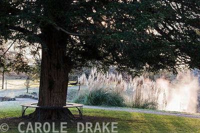 A spreading yew girdled by a circular seat near the moat at the Bishop's Palace garden at Wells on a November morning