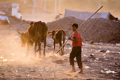 A boy tends two very skinny cows in the desert, Pushkar, Rajasthan, India