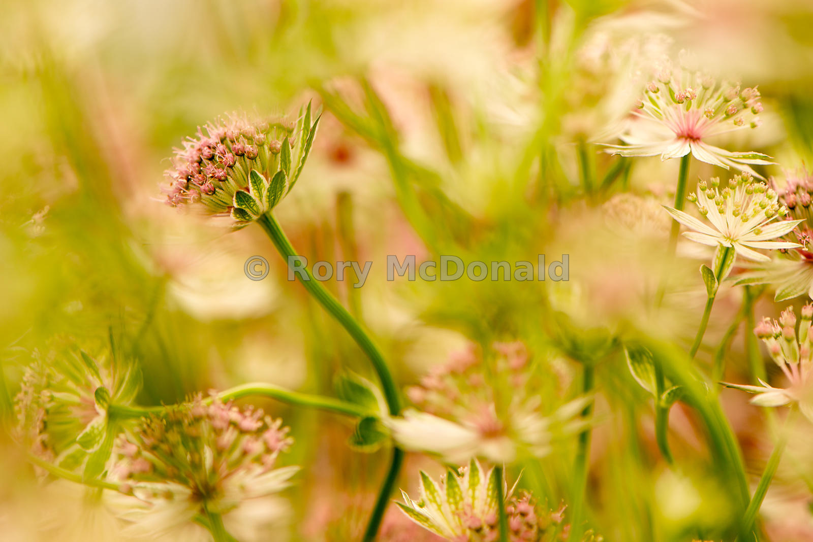 Astrantias in Summer