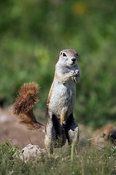 Ground squirrel (Xerus inauris), Etosha National Park, Namibia