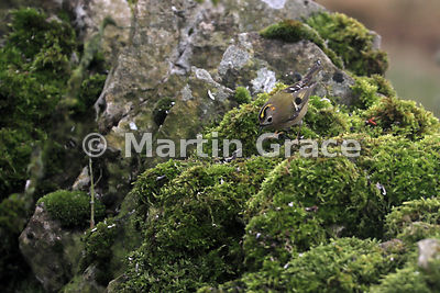 Goldcrest (Regulus regulus regulus) foraging on a moss-covered garden wall, Lake District National Park, Cumbria, England