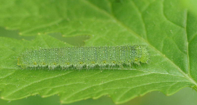 Caterpillar species