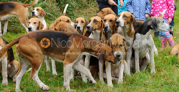 Belvoir Hunt Od English foxhounds - The Belvoir Hunt at Long Clawson, 2-11-13
