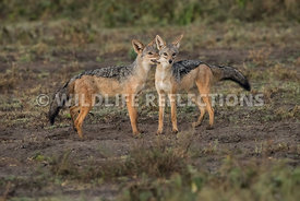 jackal_pair_ndutu_02192015-16-Edit