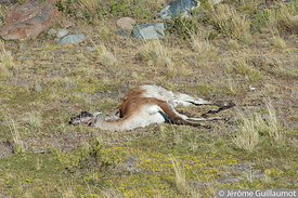 Puma on a kill at Torres del Paine