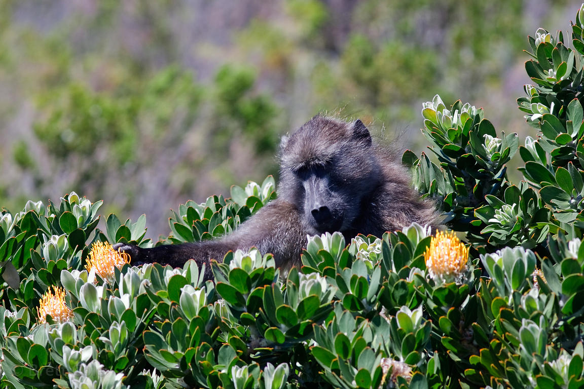 A baboon from the Buffels Bay troop eating Kreupelhout, (Leucospermum conocarpodendron ssp. viride) at Buffels Bay, Cape Peni...