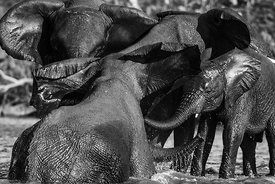 'Zambezi Elephants 1'  2017:  £975: Photographer: Neil Emmerson