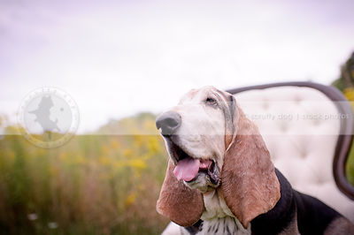 headshot of old basset hound dog on chair with bokeh background
