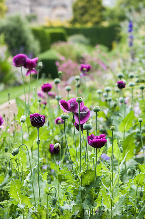 Deep purple opium poppies at the end of one of the herbaceous borders. Rodmarton Manor, Rodmarton, Tetbury, Glos, UK