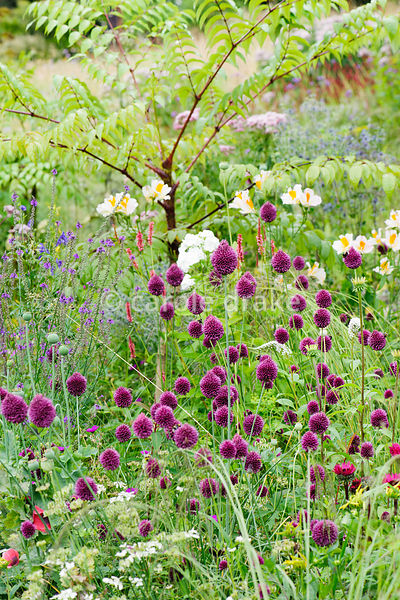 Allium sphaerocephalon, lysimachia and alstroemeria mingle below Aralia echinocaulis.