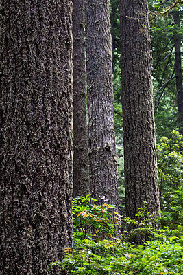 Spectacular ancient fir forest in Lady Bird Johnson Grove, Redwood National Park, California