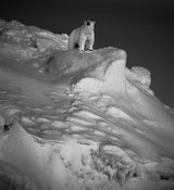 7320-Polar_bear_on_ice_Laurent_Baheux