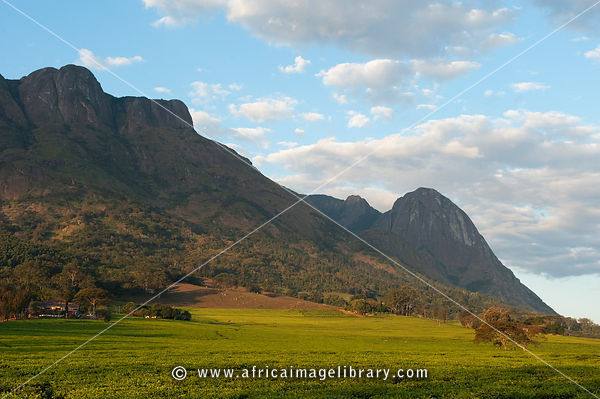 Tea plantation in front of Mulanje Massif, Malawi