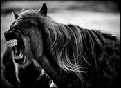 Wild horse laughs at civilised man, Iceland 2015 © Laurent Baheux
