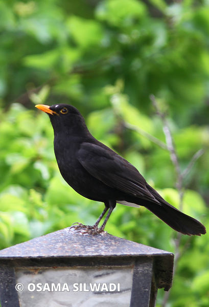 Birds of Palestine - Common Blackbird
