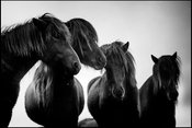 Four silhouettes, Wild horse of Iceland 2015 © Laurent Baheux
