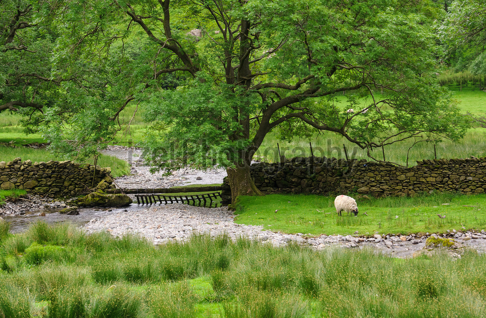 A stream passes under a large Tree at Dovedale Beck in the Lake District, Cumbria.