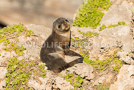 new_zealand_fur_seal_pup_shore-7