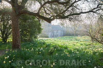 Meadow with naturalized daffodils. Cotehele, Cornwall, UK