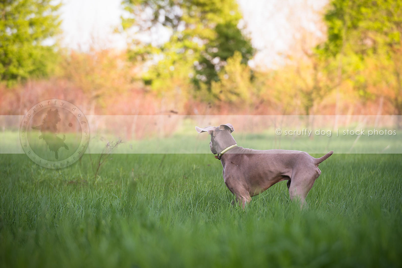 grey dog with ears turning looking away in meadow