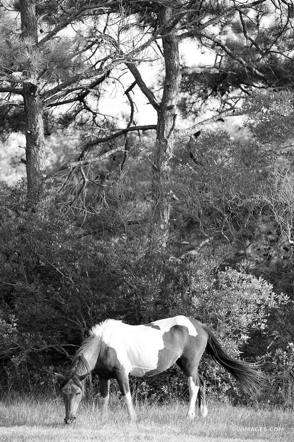 WILD HORSE PONY ASSATEAGUE ISLAND NATIONAL SEASHORE MARYLAND BLACK AND WHITE VERTICAL
