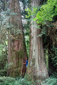 Massive, ancient western red cedar (Thuja plicata) along the Hoh River, Olympic Rainforest, Washington, likely 1,200 years old