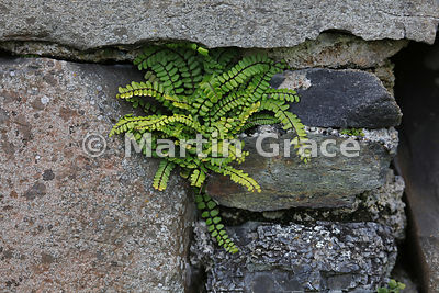 Maidenhair Spleenwort (Asplenium trichomanes), growing in the stonework of the ruined medieval Iona nunnery, Isle of Iona, In...