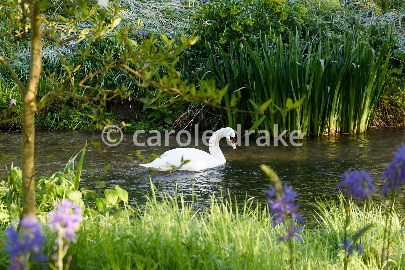 A swan on a tributary of the River Avon in the Japanese garden at Heale House, Middle Woodford, Wiltshire