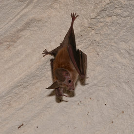 Waterhouse's Leaf Nosed Bat